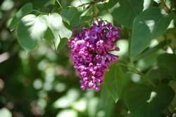 Lilac Cluster